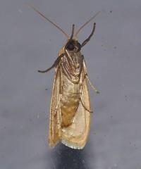 Bronze orange moth Lambula sp Lithosiinae Arctiidae Noctuoidea Mandalay rainforest Airlie Beach P1190363 (Steve & Alison1) Tags: bronze orange moth lambula sp lithosiinae arctiidae noctuoidea mandalay rainforest airlie beach