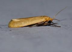 Bronze orange moth Lambula sp Lithosiinae Arctiidae Noctuoidea Mandalay rainforest Airlie Beach P1190376 (Steve & Alison1) Tags: bronze orange moth lambula sp lithosiinae arctiidae noctuoidea mandalay rainforest airlie beach