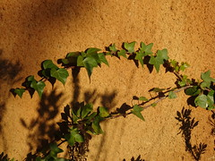 (Joan Pau Inarejos) Tags: autumn tardor otoño 2019 diciembre puríssima immaculada sombra shadow ombra pared paret sunset atardecer hiedra enredadera