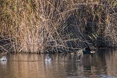 ABB_8623 (afonso_beiraobelo) Tags: bird coth5 nature outside flying nikond7500 tamron18400 wildlife greatcormorant