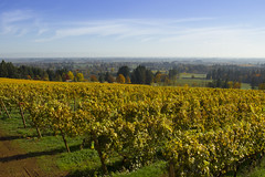 Vineyards in autumn, Dundee, Oregon (Bonnie Moreland) Tags: winery vineyard grape vines autumn fall willamette valley tualitinvalley oregon hills vista farmland
