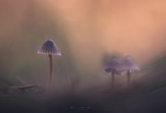 La partida (F&S Photos) Tags: setas fungi macro diaplan meyer optik mushroom nikon macrofotografia nature naturaleza bokeh desenfoque micena macrophotography micenas mycena dream oneiric mood moody cream otoño dorado autumm