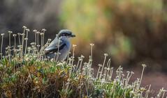 Alcaudón Real (Fitosky) Tags: canon eos6dmk2 alcaudón aves birds teide cañadas nationalpark tenerife