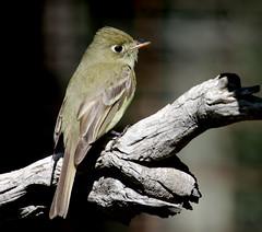 Cordilleran Flycatcher (Empidonox occidentalis); Santa Fe National Forest, NM, Thompson Ridge [Lou Feltz] (deserttoad) Tags: bird wildbird nature wildlife newmexico songbird mountain desert flycatcher nationalforest
