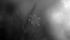 dec8 2019 13 (Delena Jane) Tags: delenajane dfo snowflake macro 100mm newfoundland ngc canada closeup winter pentaxart pentaxk70 blackandwhite