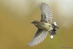 flight (Earl Reinink) Tags: movement wings bird backlighting warbler animal songbird composite blackpolwarbler ztddiddaea