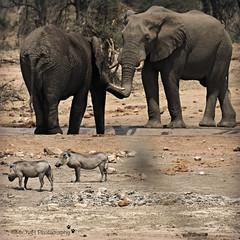 elephants and warthogs (MiChaH) Tags: sa southafrica zuidafrika kruger krugernatiionalpark krugerpark wildlife wildlifephotography elephants olifanten 2019 warthogs zwijnen knobbelzwijnen vlakvark