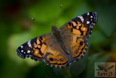 American painted Lady - Vanessa virginiensis ( BlezSP) Tags: butterflies mariposas lepidoptera grancanaria canarias gnaphalium painted lady american vanessa virginiensis
