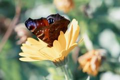 Butterfly (margycrane) Tags: butterfly motyl lato summer nature animal flower kwiat owad fe24105mmf4goss sonyilce7m3