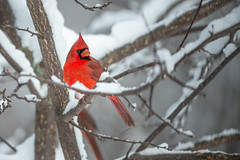 Cardinal-46182.jpg (Mully410 * Images) Tags: birdwatching birding cardinal winter backyard northerncardinal bird birds cold birder snow