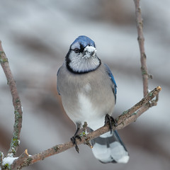 Blue jay-46227.jpg (Mully410 * Images) Tags: jay bluejay birding winter backyard bird birds cold birdwatching birder snow