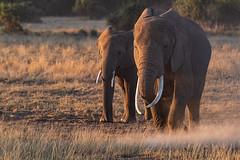 Morning stroll (Nicolas Hoizey) Tags: 100400mm africa afrique amboseli amboselinationalpark fujifilm fujifilmxt3 fujinon fujinonxf100400mmf4556rlmoiswr fujinonxf14×tcwr kajiado kenya mammifères nationalpark parcnationaldamboseli xt3 animal animalière converter défense défensedéléphant elephant elephanttusk ivoire ivory lens levédesoleil mammal mammals mammifère sauvage soleil sun sunrise teleconverter tusk téléconvertisseur wild x14 ×14 éléphant valléedurift