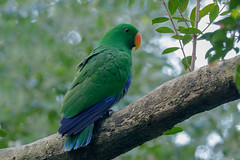 Eclectus Parrot (Alan Gutsell) Tags: eclectusroratus eclectusparrot eclectus parrot northeastern queenslandbirds queensland birdsofqueensland alan wildlife wildlifephoto photography canon camera talking