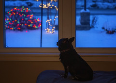 Its beginning to look a lot like Christmas 49/52 (Boered) Tags: chico dog 52weeksfordogs snow window christmaslightts