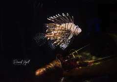 Lion Fish (Darrell Wyatt) Tags: fish amazing aquarium steampunk