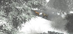 Where the Deers Reign (Miru in SL) Tags: second life sl mesh animesh arcade gacha hextraordinary animals deer reindeer snow winter landscape nature little branch