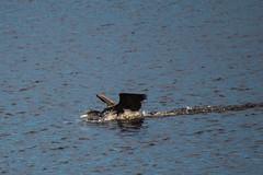 ABB_8266 (afonso_beiraobelo) Tags: bird coth5 nature outside flying nikond7500 tamron18400 wildlife greatcormorant