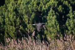 ABB_8710 (afonso_beiraobelo) Tags: bird coth5 nature outside flying nikond7500 tamron18400 wildlife greatcormorant