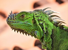 Dragon (knightbefore_99) Tags: mexico mexican rincon guayabitos nayarit awesome cool tropical west coast pacific dragon iguana green fauna best lizard big verde