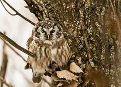 Nyctale de Tengmalm (icascidos) Tags: wild beautiful ngc nature beau oiseauxbirdsnaturewildlifeneige marais lumière pajaro perche petit hibou adorable sauvage