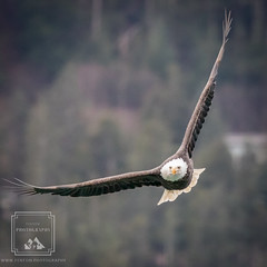Heading your way (fentonphotography) Tags: alaska juneau bird fauna flying wings wildlife baldeagle wildanimal birdofprey nationalsymbol feathers originalphotography