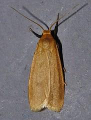 Bronze orange moth Lambula sp Lithosiinae Arctiidae Noctuoidea Mandalay rainforest Airlie Beach P1190371 (Steve & Alison1) Tags: bronze orange moth lambula sp lithosiinae arctiidae noctuoidea mandalay rainforest airlie beach