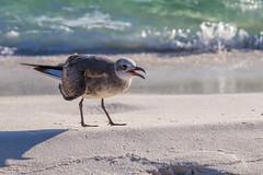 Destin Gull (Mike Matney Photography) Tags: 2019 canon destin eos6d florida november vacation gull wildlife bird birds water gulfofmexico beach sand