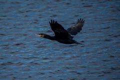 ABB_8197 (afonso_beiraobelo) Tags: bird coth5 nature outside flying nikond7500 tamron18400 wildlife greatcormorant