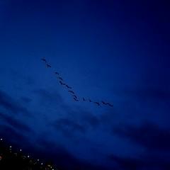 birds fly :-) 20191208_163747 (roland) Tags: rolandtanglaophoto notrainy vancouver samsungnote8photo birds flyingbirds bird geese flight flying