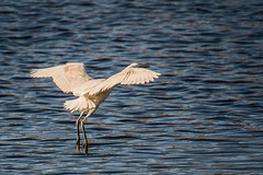ABB_8805 (afonso_beiraobelo) Tags: bird coth5 nature outside flying nikond7500 tamron18400 wildlife greategret