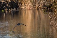 ABB_8665 (afonso_beiraobelo) Tags: bird coth5 nature outside flying nikond7500 tamron18400 wildlife greatcormorant
