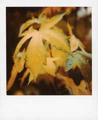 Califallnia (tobysx70) Tags: polaroid originals color 600 instant film slr680 califallnia beachwood canyon hollywood hills los angeles la california ca yellow green leaf leaves tree autumn fall rain water drops flora bokeh mint lens set closeup toby hancock photography
