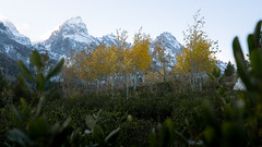Aspens in the shade of the Mountain (loewx017) Tags: mountain aspens trees aspen tetons west western americanwest life nature flickr light dark mood moody sunrise sunset dusk dawn plants color saturation picture photo photography