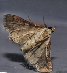 4 ring moth Metasia sp aff liophaea Spilomelinae Crambidae Mandalay rainforest Airlie Beach P1190353 (Steve & Alison1) Tags: 4 ring moth metasia sp aff liophaea spilomelinae crambidae mandalay rainforest airlie beach