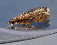 4 ring moth Metasia sp aff liophaea Spilomelinae Crambidae Mandalay rainforest Airlie Beach P1190361 (Steve & Alison1) Tags: 4 ring moth metasia sp aff liophaea spilomelinae crambidae mandalay rainforest airlie beach