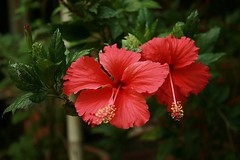 hibiscus (the foreign photographer - ฝรั่งถ่) Tags: red hibiscus flowers garden our yard bangkhen bangkok thailand canon