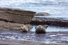 _DSC2755r (gstamets) Tags: seal seals sealpup greyseal greyseals ravenscar yorkshire northyorkshire yorkshirecoast england uk unitedkingdom coast beach rocks animal animals mammal