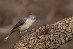 Tufted titmouse (Lynn Tweedie) Tags: wood bokeh ef400mm56lusm tail wing tuftedtitmouse canon ngc animal feathers bird 5dmarkiv eye tree eos beak missouri branch