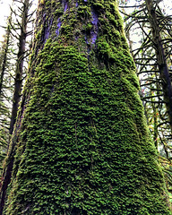 Moss Climbing (Pennan_Brae) Tags: nature trees forest tree green moss