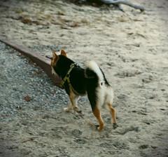 Zooooom (Jake Maslak) Tags: beach outside nature dog dogs warm summer fuji fujifilm digital xt1 animals