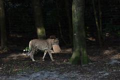 Cheetah (Find The Apex) Tags: disneysanimalkingdom dak animalkingdom kilimanjarosafaris disney waltdisneyworld wdw disneyworld disneyresort cheetah acinonyxjubatus animal