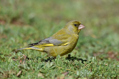 European Greenfinch (eBird.org) Tags: ebird front page birds birding citizen science conservation cornell lab ornithology