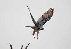 Hawk in flight (SusieMSB7) Tags: raptor hawks birds flight wildlife nature hawk