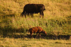 Orange Bison Calf Eating near Mother 2