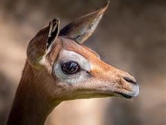 Doe Eyes (helenehoffman) Tags: africa litocraniuswalleri wildlife conservationstatusnearthreatened nature antelope sandiegozoo gerenuk giraffenecked wallersgazelle animal coth coth5 alittlebeauty specanimal