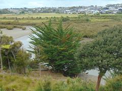 20191209-134526 (LSJHerbert) Tags: auckland geo:lat=3659470400 geo:lon=17467459100 geotagged millwater newzealand nzl orewa 20191209wtk viewranger access crossing housingdevelopment mangrove publicreserve river tree
