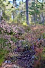 Toward autumn (Stefano Rugolo) Tags: stefanorugolo pentax k5 pentaxk5 smcpentaxm50mmf17 manualfocuslens manualfocus manual depthoffield autumnpath autumn sweden