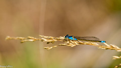 Common Bluetail (Possy's Pics) Tags: insect