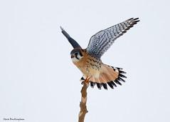 American Kestrel (sbuckinghamnj) Tags: kestrel americankestrel falcon raptor wallkillrivernwr newjersey