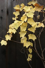 fall evolution (Riex) Tags: fall automne autumn yellow jaune feuille leaves leaf grapes grappe raisins vigne vine fruit feuilles a100 sal1680z amount carlzeisssonyf35451680mm minoltaamount variosonnartdt35451680 nature california